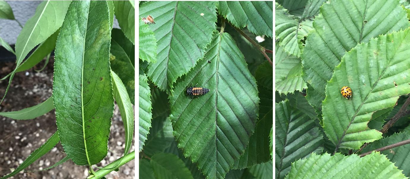 Blattläuse und Marienkäfer auf dem Weidestrauch der IKT Röthenbach